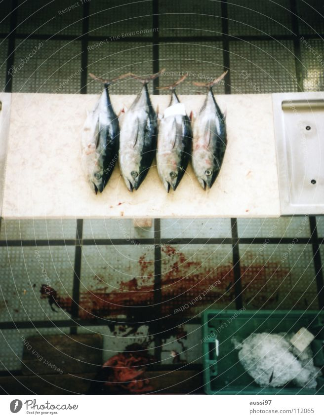 Nutrition Food Fish Teeth Net Appetite Blood Fishing (Angle) Global Lead Fishery Tin of food Tuna fish Overfishing