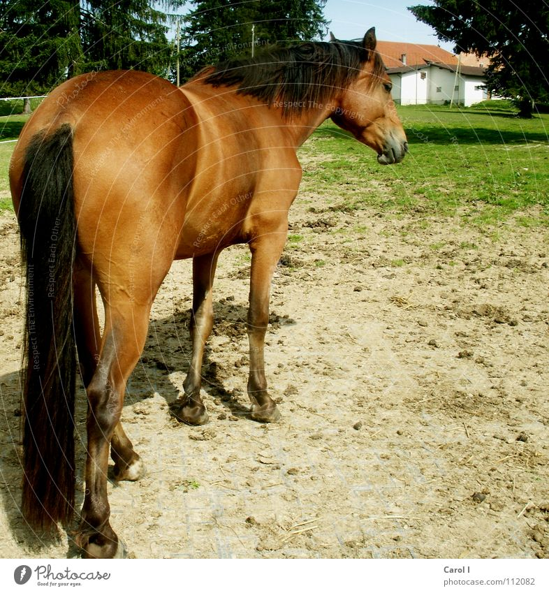 snapped from behind Horse Foal Ride Grass Haag Black Brown House (Residential Structure) Fir tree Hoof Horseshoe Mane Tails Switzerland Ready Pelt Groom Stand