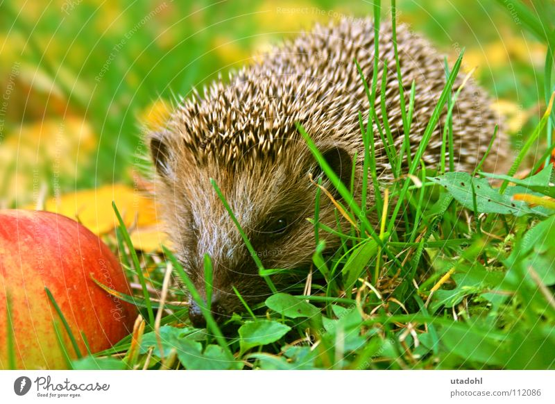 hedgehogs Hedgehog Winter Autumn To feed Mammal Animal Grass Leaf Thorny To hibernate Apple insectivorous Garden hedge-hog prick prickle spike spiky carnivore