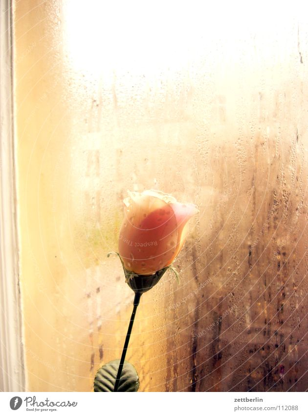 Monday rose Rose Flower Window Pane Transparent Condensation Wetlands Traffic infrastructure Neighbor Curiosity Living or residing Decoration Autumn Window pane