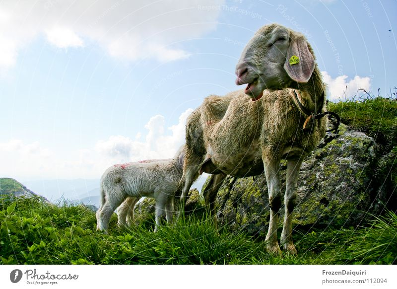Sky Nature Green White Clouds Animal Mountain Grass Stone Rock Agriculture Alps Pasture Mammal To feed Sheep