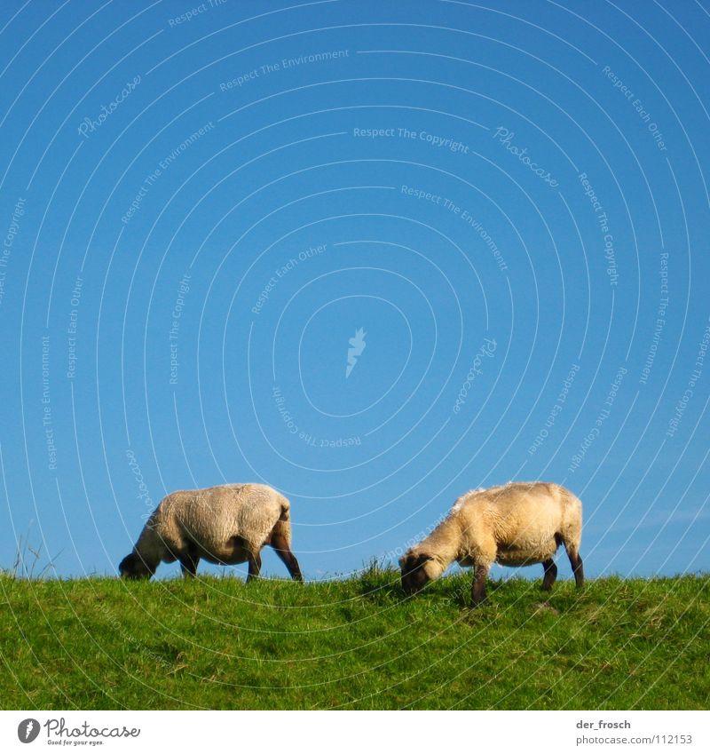 lawn mower Sheep Meadow Grass Dike Green Wool Lawnmower Mammal Sky Blue