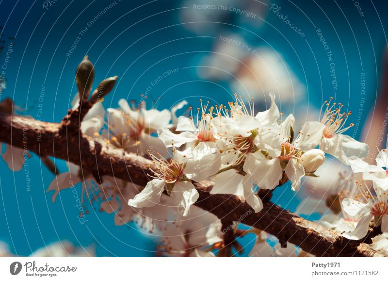 Nature Blue Plant White Tree Blossom Esthetic Branch Blossoming Beautiful weather Twig Cloudless sky Cherry blossom