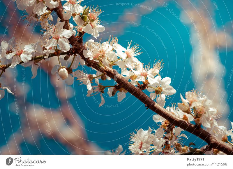 Nature Blue Plant White Tree Spring Blossom Esthetic Branch Blossoming Beautiful weather Twig Cherry blossom