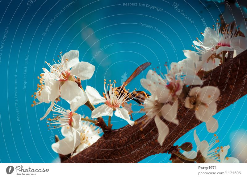 Nature Blue Plant White Tree Animal Spring Blossom Esthetic Branch Blossoming Beautiful weather Twig Insect Cloudless sky Cherry blossom