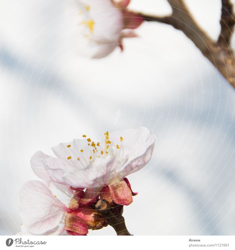 ...spring will come Spring Beautiful weather Plant Tree Blossom Fruit trees Apricot tree apricot blossom fruit tree blossom Garden Blossoming Friendliness