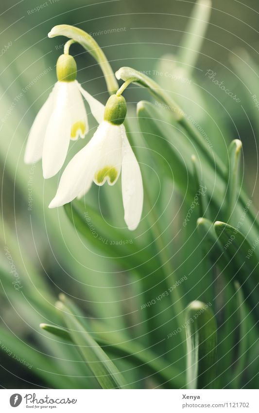 snowdrops Nature Plant Flower Leaf Blossom Garden plants Snowdrop Blossoming Green White Spring fever Anticipation 2 Exterior shot Deserted Copy Space bottom