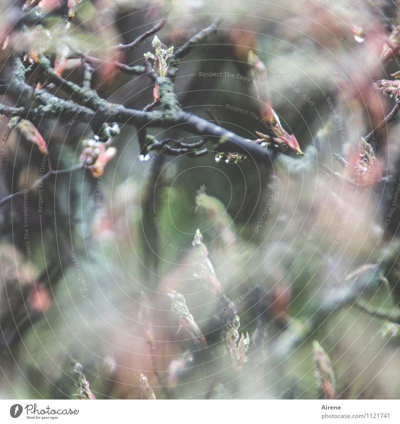 In the thicket Plant Drops of water Spring Bad weather Rain Tree Bushes Leaf bud Bud Twigs and branches rock pear Growth Fluid Wet Gray Green Pink Sadness Grief