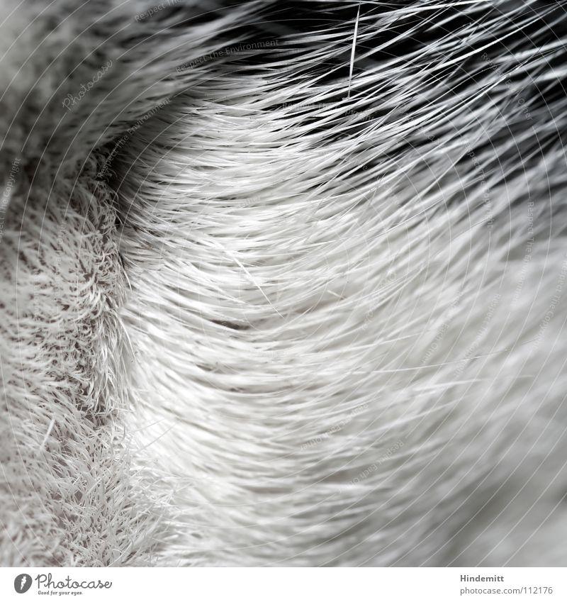 Cat White Black Hair and hairstyles Waves Arrangement Soft Clean Pelt Long Mammal Domestic cat Swing Caress Yawn Flea