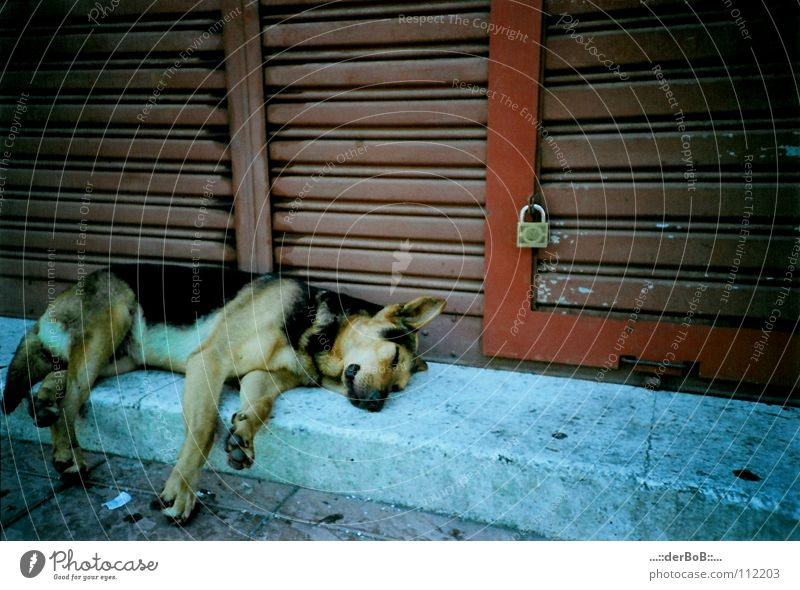 Slept like a dog Chile Valparaíso Red Dog Animal Analog Lomography South America Feeble blue Castle Fatigue Gate Colour . the BoB German Shepherd Dog