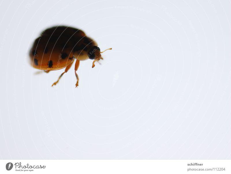 Legs Insect Curiosity Cute Ladybird Beetle Feeler Crawl Bow Light table Meddlesome