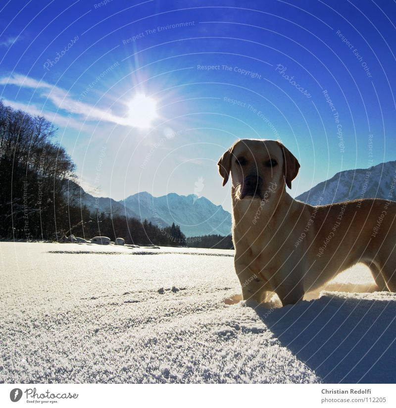 Sun Winter Cold Snow Dog Landscape Weather Concentrate Hunting Snowscape Intuition Labrador Turnaround Federal State of Vorarlberg River Lech