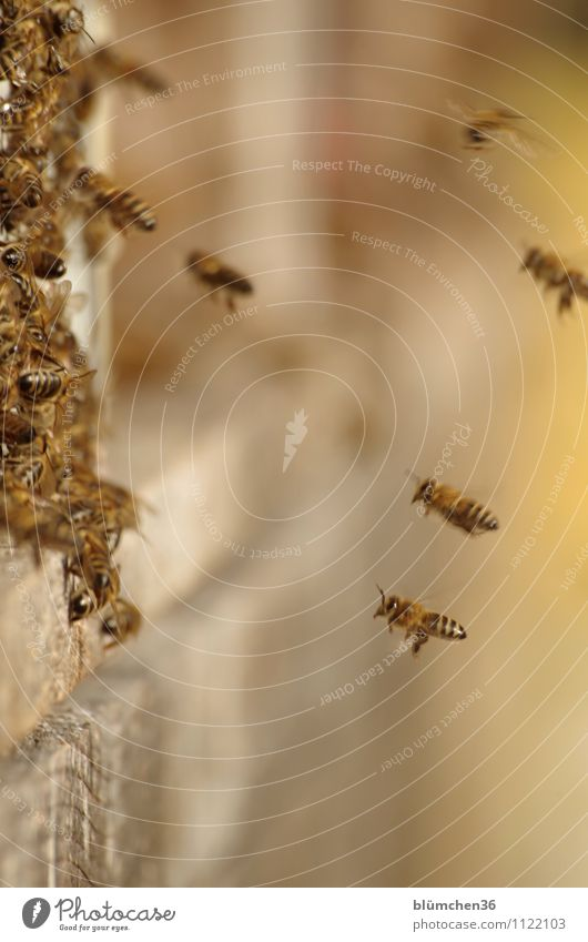 Full commitment Animal Farm animal Wild animal Bee Honey bee Insect Flock Beehive Flying Carrying Authentic Small Natural Teamwork Work and employment Workplace