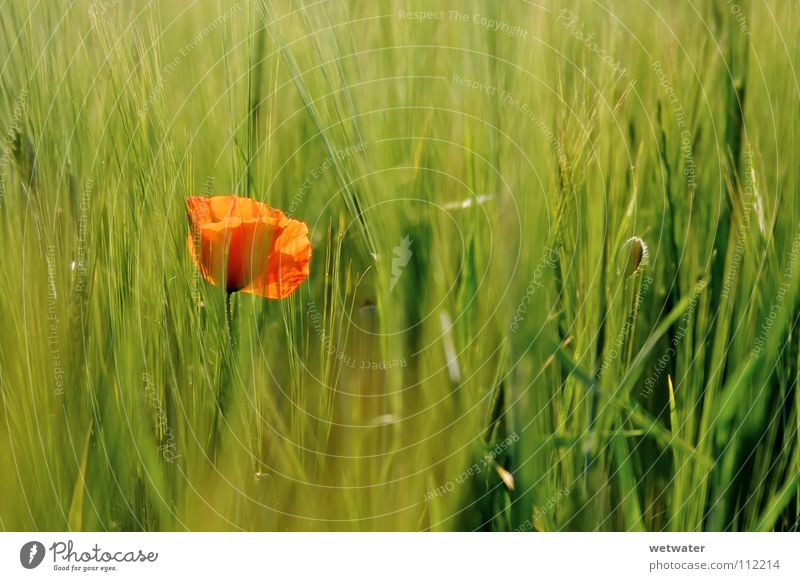 red spot Flower Poppy Red Meadow Corn poppy Field Barley Back-light Delicate Blur Summer rivalry