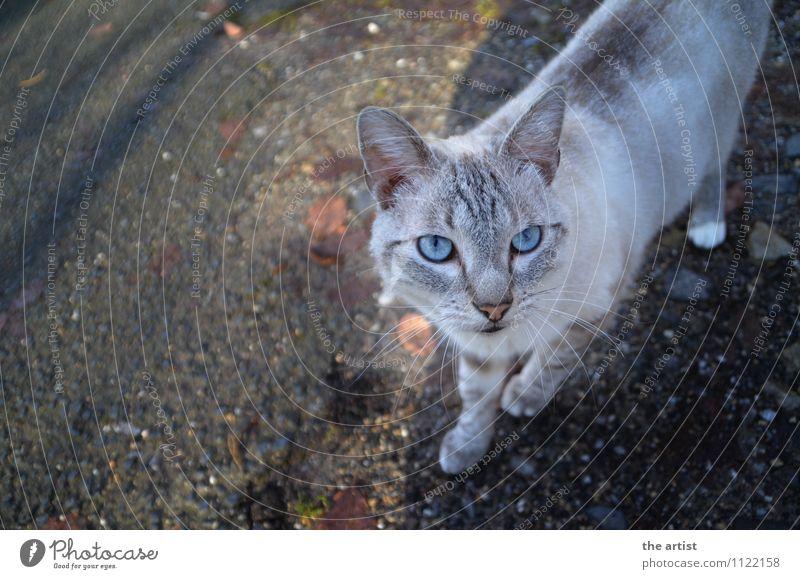 Blue eyes Animal Pet Cat 1 Esthetic Elegant Colour photo Exterior shot Bird's-eye view Animal portrait Upward