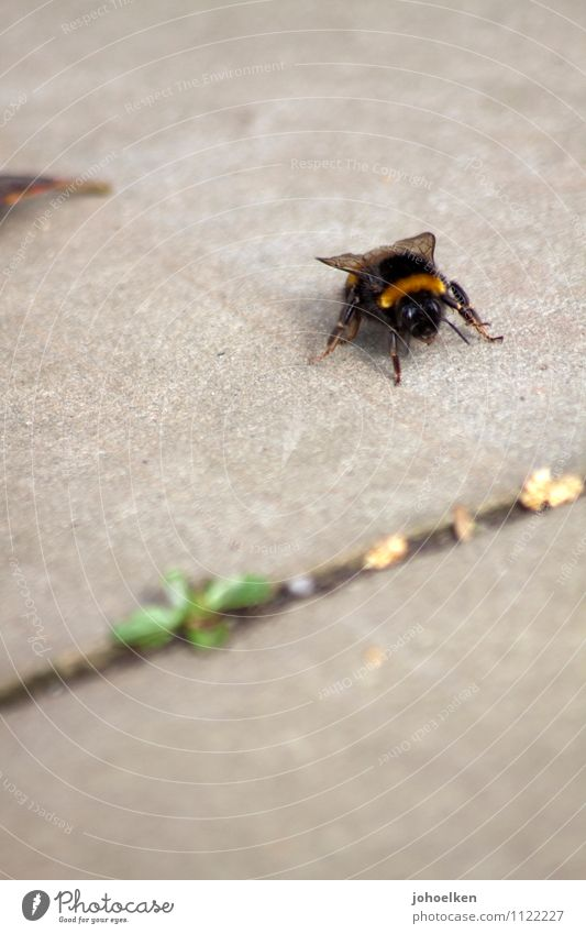 Don't step on it! Terrace Sidewalk Animal Farm animal Wild animal Bee Bumble bee 1 Stone Concrete Work and employment Crawl Fat Yellow Gray Black Smooth