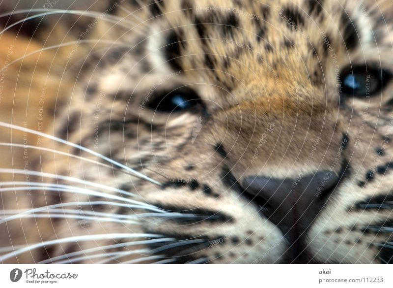 Beautiful Calm Animal Playing Cat Fear Food Search Concentrate Hunting Appetite Testing & Control Watchfulness Patch Mammal Exotic
