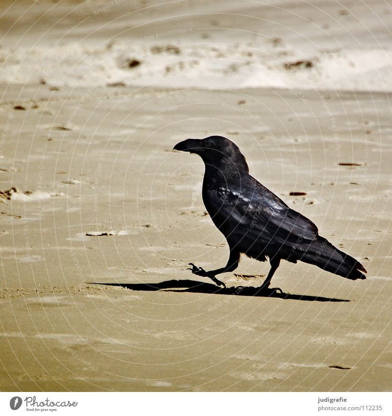 beach walk Beach Crow Raven birds Bird To go for a walk Loneliness Going Go off Coast Colour Sand Walking Shadow