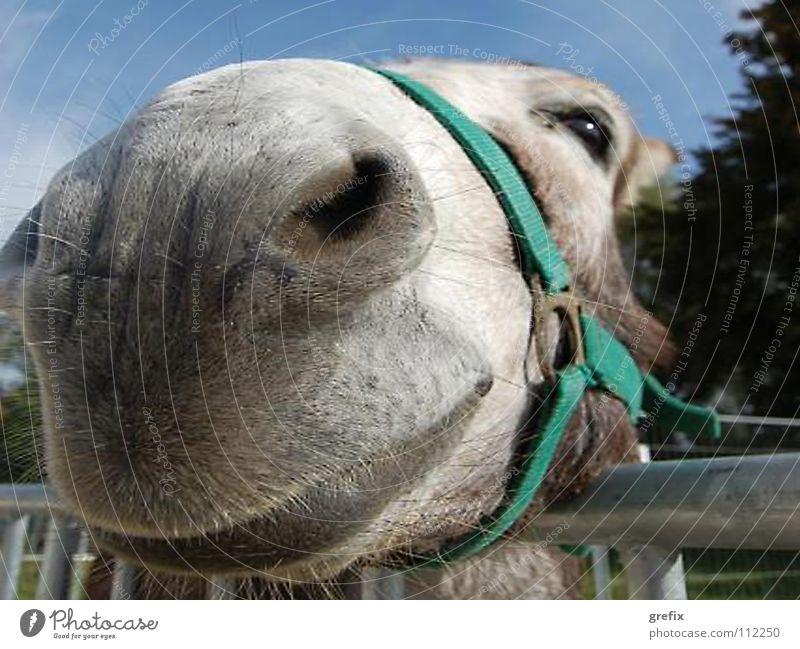 Come closer Mule Nostrils Bridle Agriculture Farm animal Barn Mammal Equestrian sports Donkey