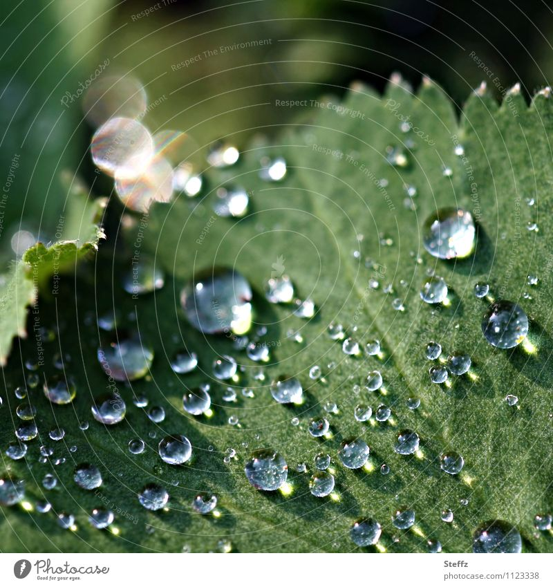 Raindrops with light reflections on a lady's mantle leaf Alchemilla vulgaris Alchemilla leaves raindrops light reflexes Lotus effect Hydrophobic Drops of water