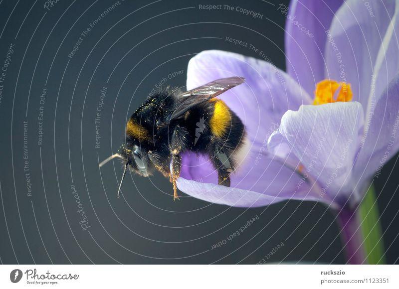 Garden crocus, bumblebee, crocus, crocus, vernus, Nature Animal Spring Flower Blossom Bee Blossoming Free Blue Gray Black Crocus Bumble bee Spring flower