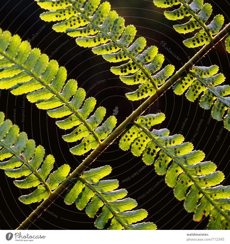 fern Green Back-light Delicate Spore Dark Light Summer Autumn Hope Beautiful Pteridopsida Crazy