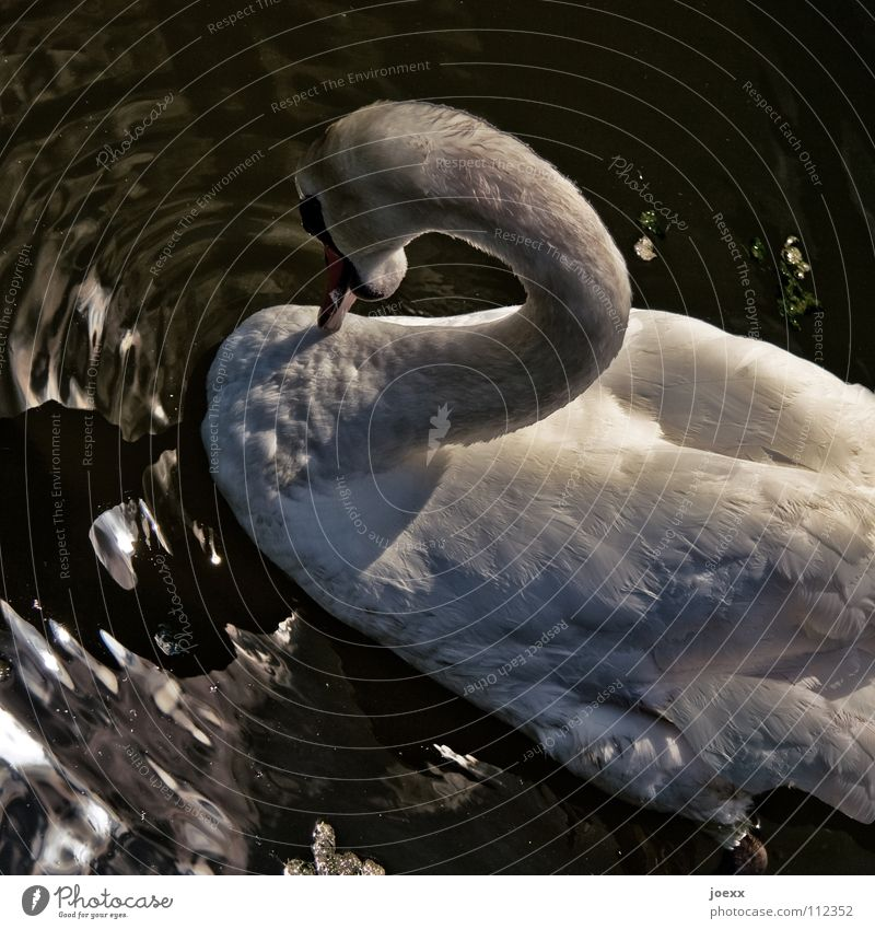 2 Attack Threat Humble Threaten Duck birds Feather Curved Body of water Mute swan Swan Lake Sunset Reflection Pond Animal protection Waves Bird