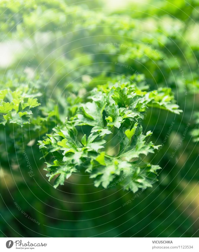 parsley Lifestyle Style Design Summer Garden Nature Beautiful weather Background picture Parsley Leaf Visual spectacle Green Herbs and spices herb cultivation