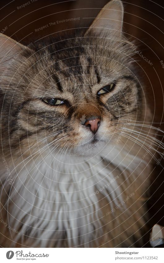 Look me in the eye. Pelt Long-haired Facial hair Hair Animal Pet Cat Animal face 1 Dream Threat Demanding Earnest Colour photo Interior shot Close-up Forward
