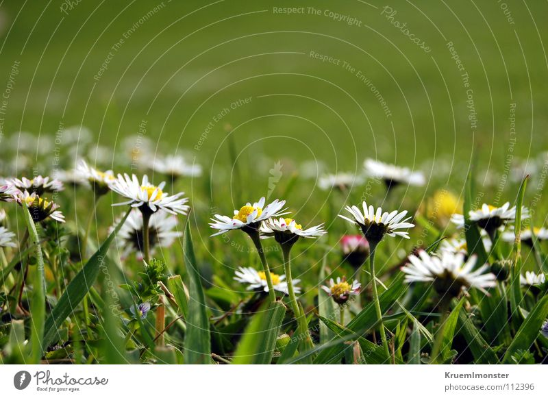 Beautiful White Flower Green Summer Far-off places Meadow Field Americas Daisy Meadow flower Rural