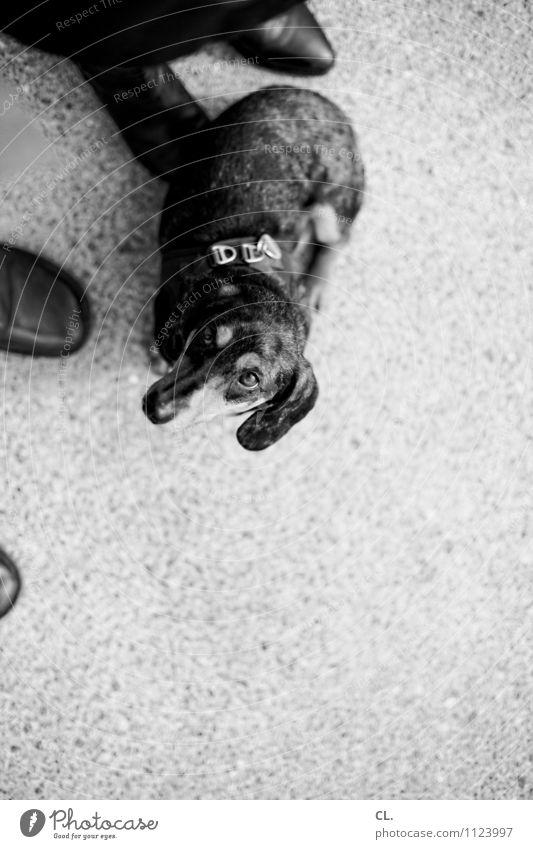 dachshund look Leisure and hobbies Human being 2 Footwear Animal Pet Dog Animal face Dachshund 1 Ground Observe Curiosity Cute Joie de vivre (Vitality)