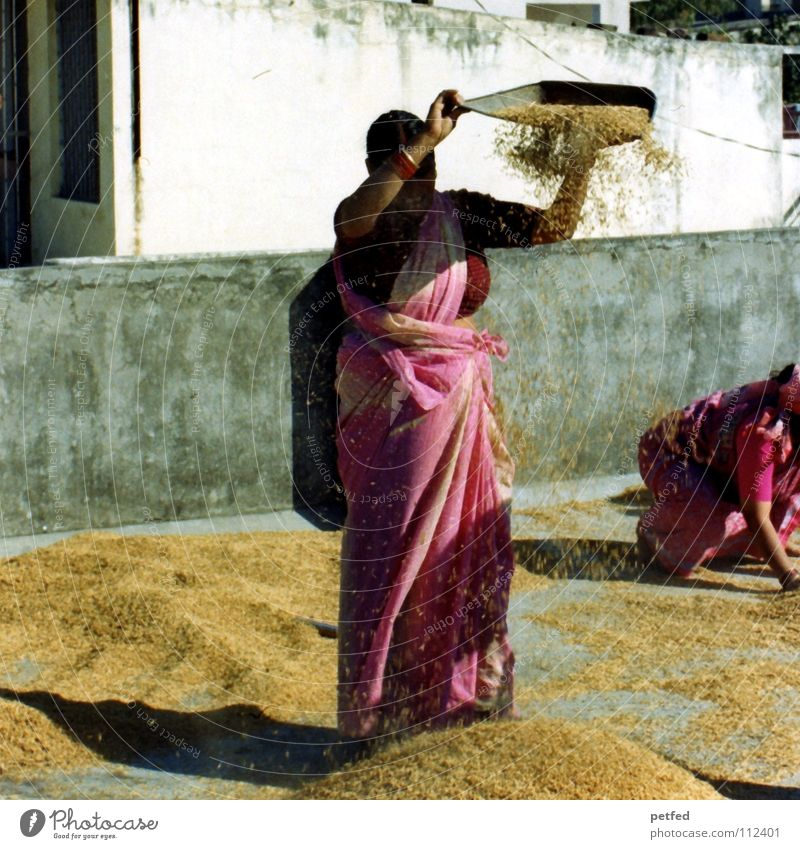 rice harvest India Asia Adventure Rice harvest October Autumn Woman Indian Work and employment Housewife Chaff Food Roof Sari Rishikesh Ganga river Earth