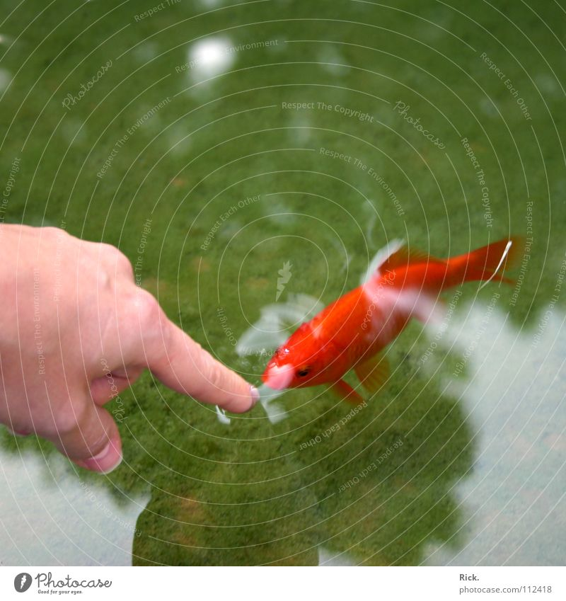 Water Hand Green Red Fingers Fish Curiosity Trust Indicate Pond Surface of water Forefinger Goldfish Water reflection Be confident Women`s hand