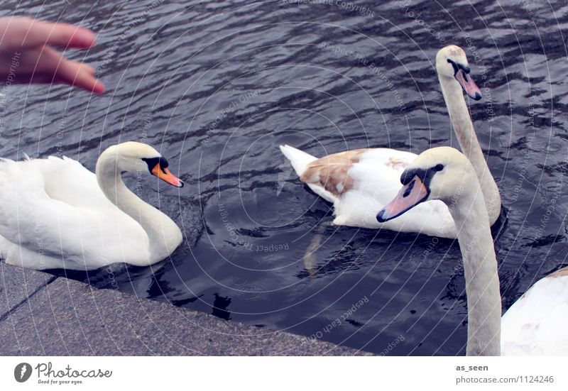 Feed swans Leisure and hobbies Feed the birds Parenting Hand Environment Nature Landscape Animal Park Coast Lakeside Pond Wild animal Swan Animal face Wing 3