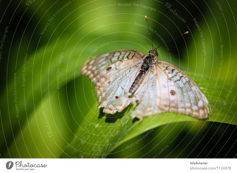White Peacock Anartia Jatrophae Beautiful Nature Animal Antenna Butterfly Wing Natural Cute Brown Black Insect colorful wildlife spots pretty Beauty Photography