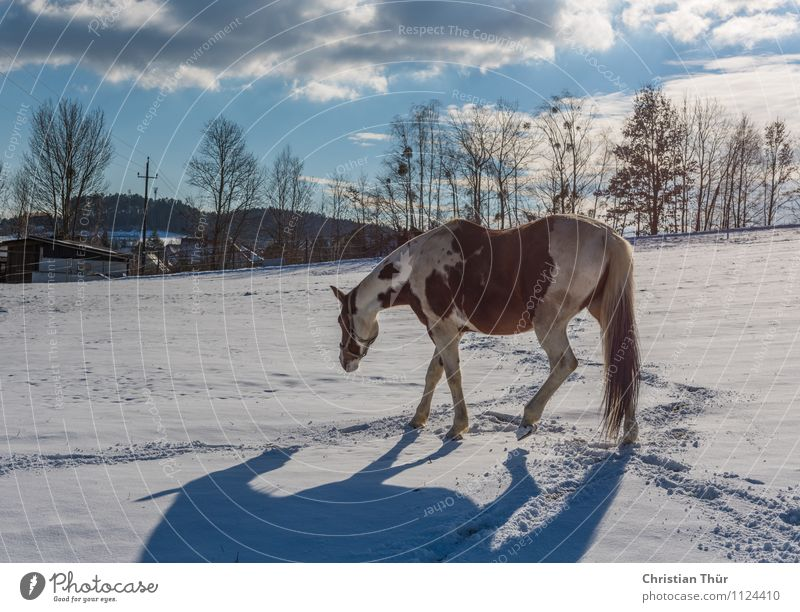 Horse in winter on stable search:) Ride Hunting Vacation & Travel Tourism Adventure Far-off places Freedom Winter Snow Winter vacation Sports Nature Clouds