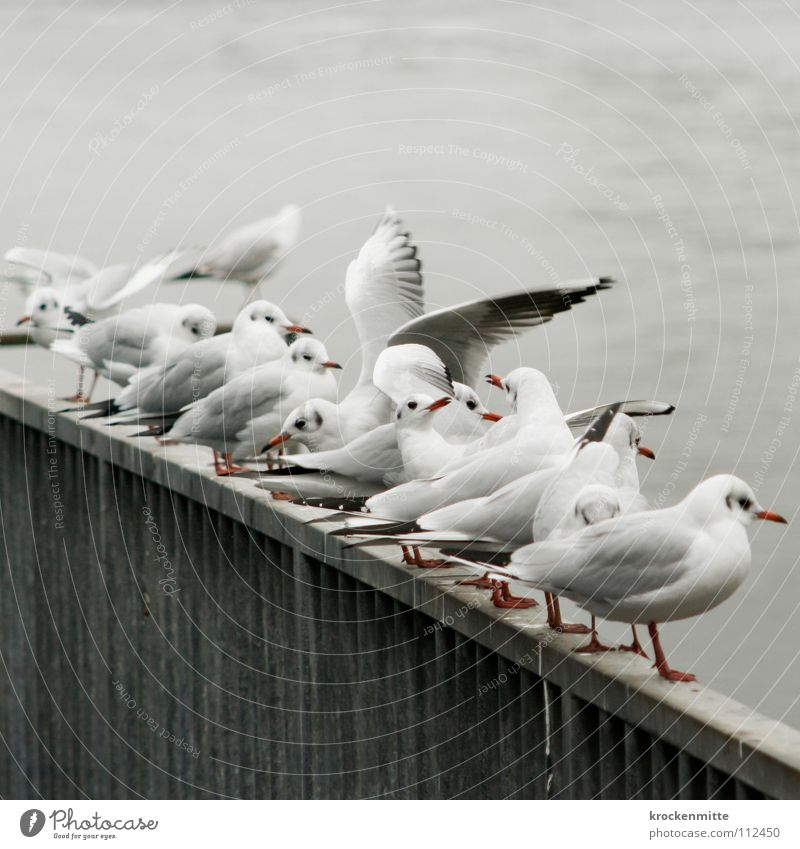 Animal Gray Bird Wait Wing Feather Vantage point Handrail Seagull Row Beak Judder Gull birds
