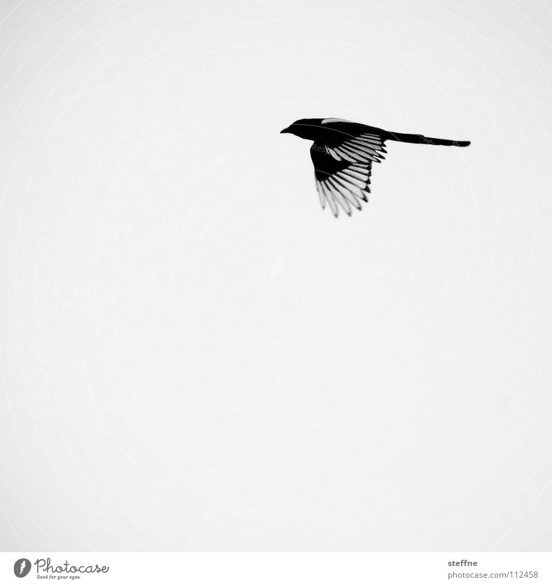 Bird Reynolds. Black-billed magpie White Aerodynamics Autumn Cold Calm Loneliness Feather Thief Purloin Black & white photo Flying Aviation fly Wing wings