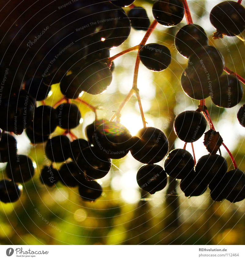 hounders Autumn Round Dark Back-light Light Hang Silhouette Multiple Small Dazzle Delicious Fruit Bright Many Berries Elderberry