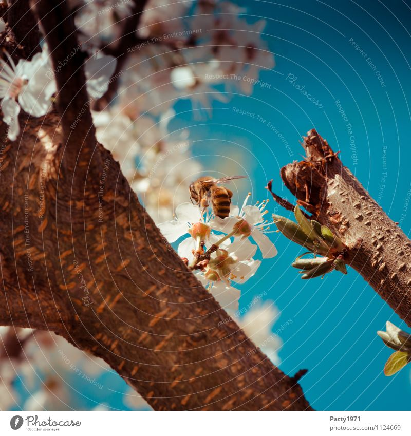 Blossom branch with bee Nature Cloudless sky Spring Beautiful weather Tree Cherry blossom Twig Branch Bee 1 Animal Blossoming Esthetic Blue White Honey bee