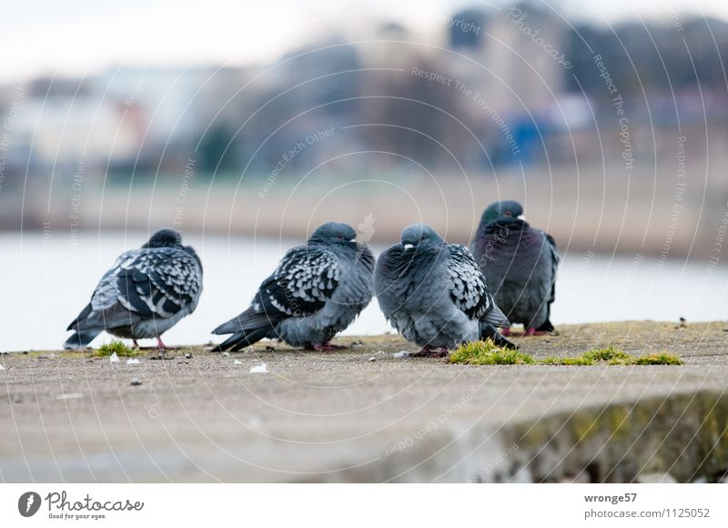 Cool weather Town Wall (barrier) Wall (building) Animal Pet Wild animal Bird Pigeon 4 Group of animals Blue Gray Dove gray Cold City life Downtown River Elbe