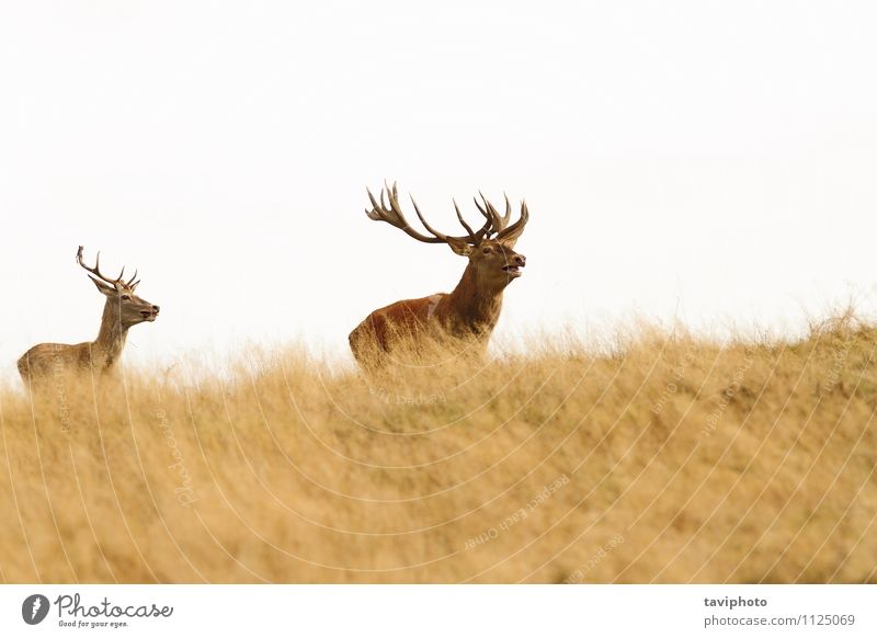 big stag on the hill Beautiful Hunting Man Adults Nature Landscape Animal Autumn Grass Park Meadow Forest Hill Rutting season Natural Wild Brown Green Red Power