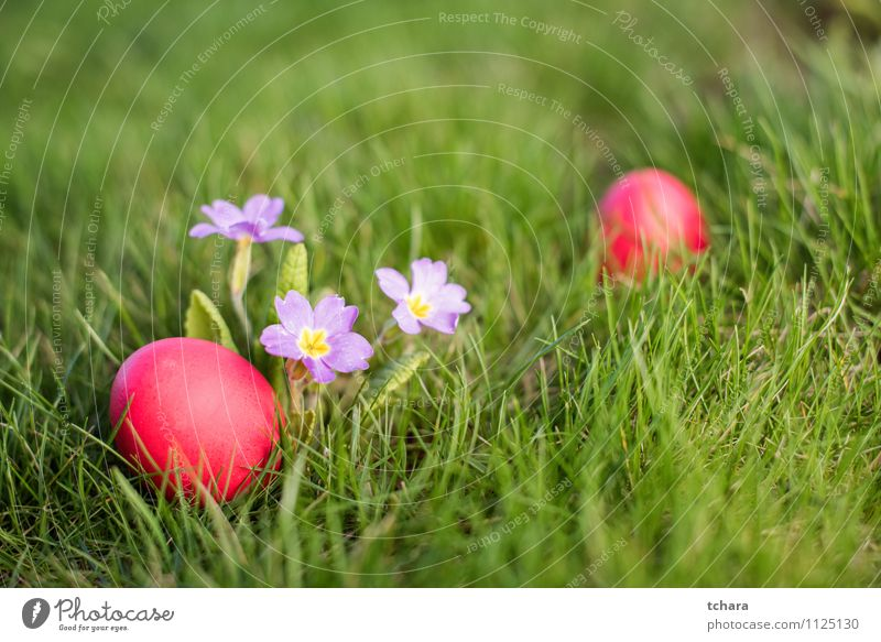 Easter eggs Food Hunting Garden Flower Grass Blossom Meadow Field Green Red Religion and faith Egg Easter hunt primrose holiday Photography color image