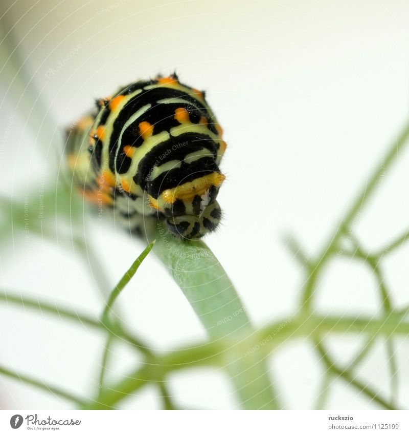 Caterpillar; swallowtail; Wild animal Butterfly Free Yellow Black White Swallowtail Papilio machaon butterflies Insect Noble butterfly spotted butterfly