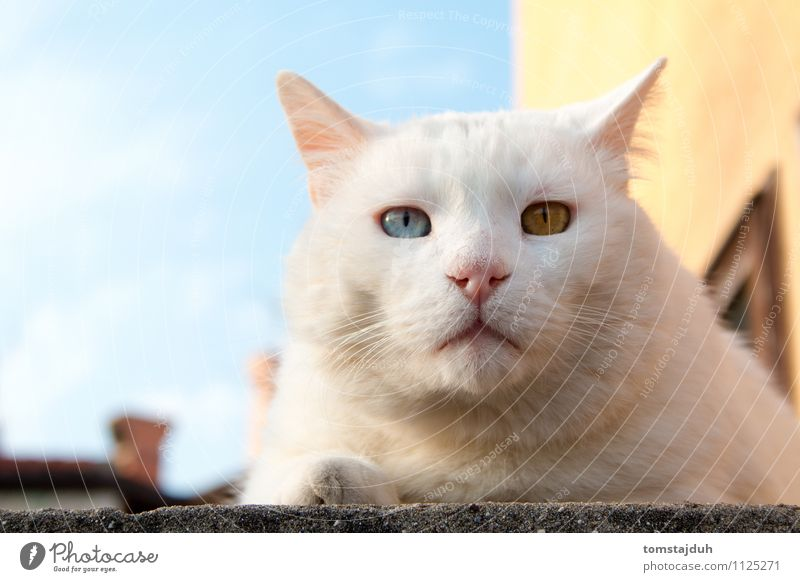 Odd eyed tomcat Sightseeing Summer Animal Sky Beautiful weather Slovenia Europe House (Residential Structure) Pet Cat Animal face 1 Lie Exotic Friendliness Blue