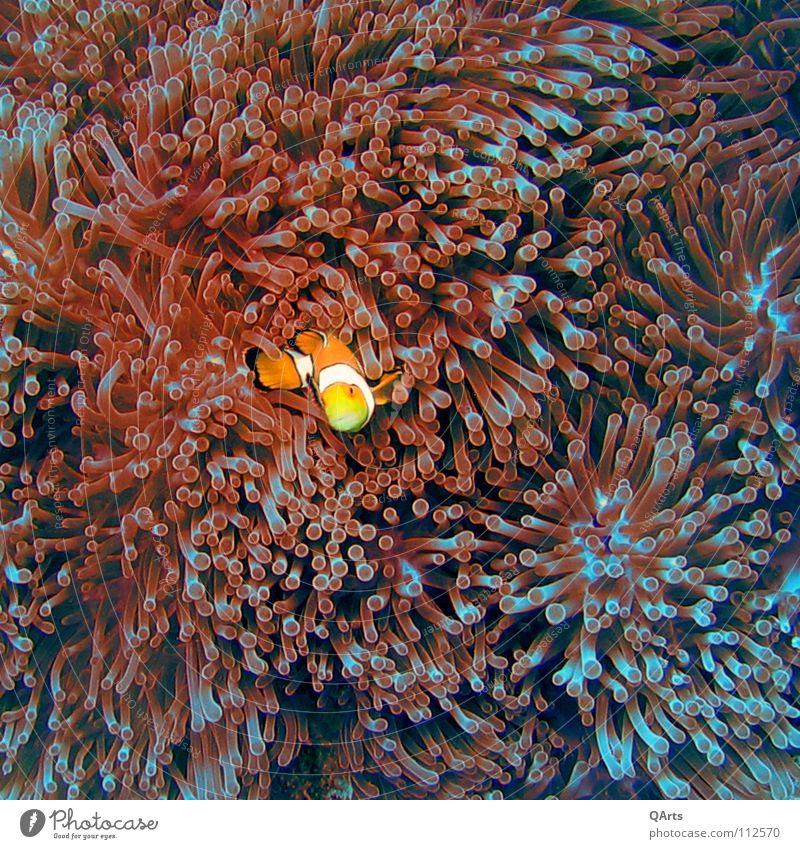 Ocean Blue Red Joy Lake Orange Fish Underwater photo Dive Cinema Aquarium Thailand Media Coral Anemone Finding Nemo