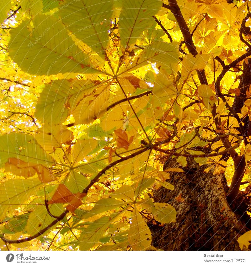 Autumn smell II Leaf Yellow Tree trunk Chestnut tree Treetop Hissing October Goodbye Holiday season Seasons Transience Formulated To fall Lamp End Gold