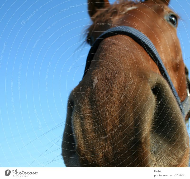 look me in the nose little... Horse Animal Nostril Odor Confidential Caress Red-haired Equestrian sports Foxhunting Cowboy Trust Mammal Sky four-legged friends