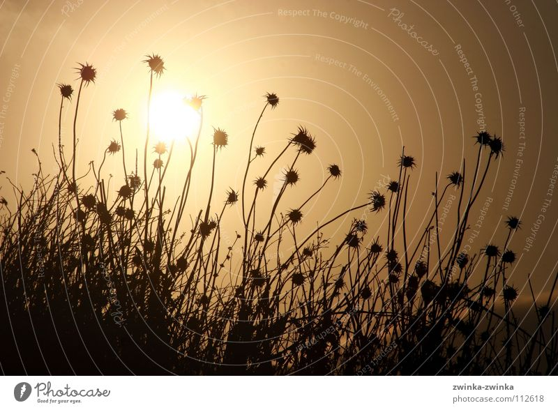 disteln in the morning hour, has gold as background Thistle Black Back-light Light Autumn Sun Gold Shadow Nature
