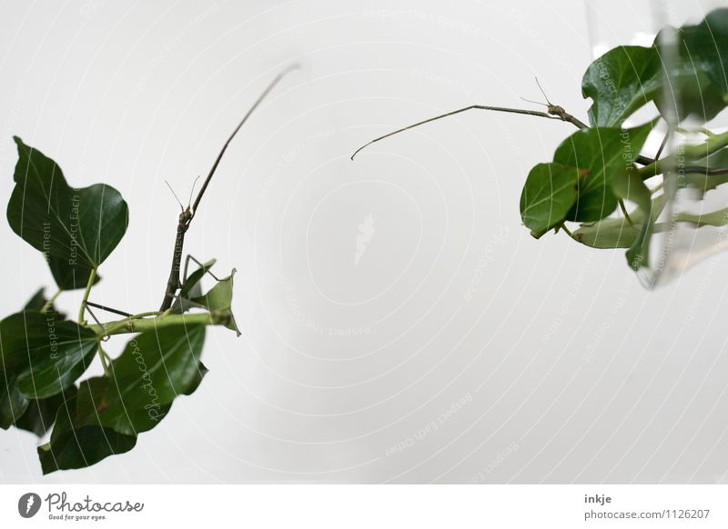 Moin Sasha! Tach, Ulrike! Ivy Leaf Animal Aquarium Insect stick insect Locust Keeping of animals 2 Pair of animals To talk Communicate Argument Exceptional Thin